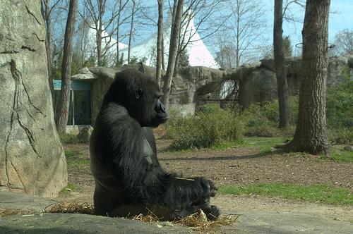 meditating gorilla